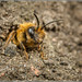 Mining Bee by Ed Phillips 01
