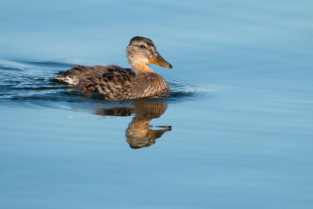 Mallard Duckling  - img_9909