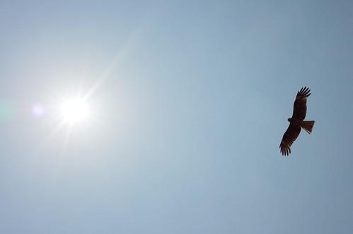 Black Kite 02