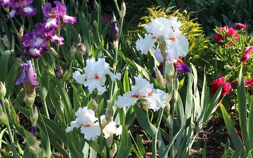 Iris Nordica