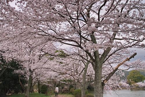 【写真】2013 桜 : 大覚寺/2020-09-15/IMGP9437