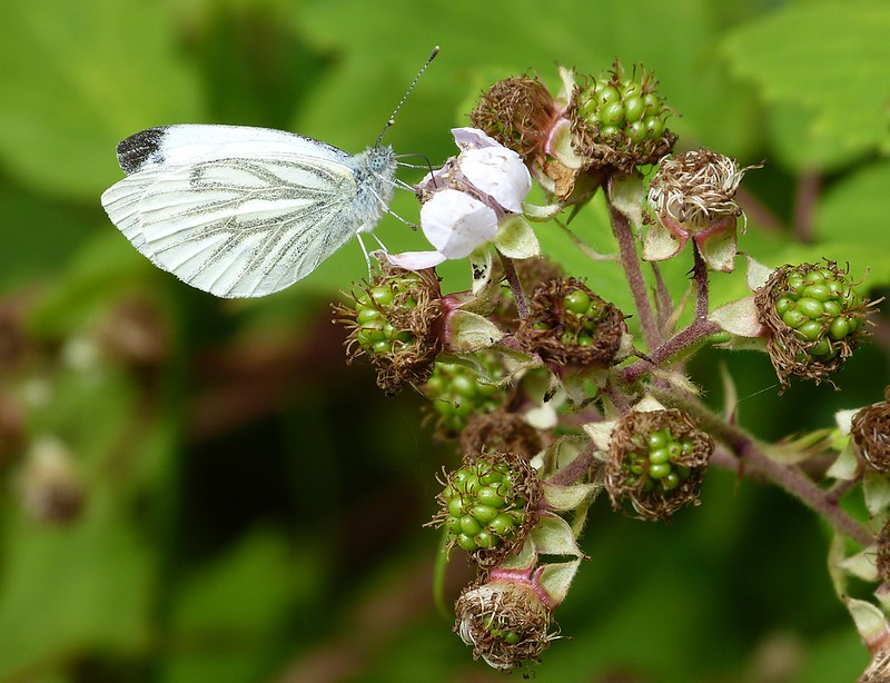 P1050845 - Green-veined White