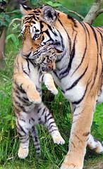 Tiger cub + Dominika