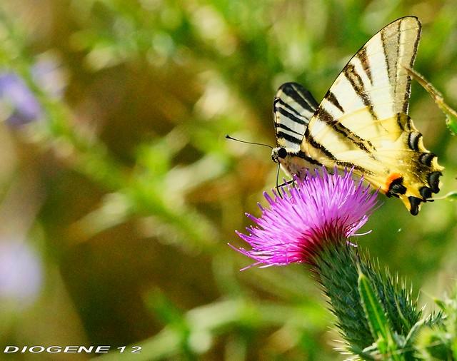 FARFALLA 12 ( Butterfly 12 ) Oasi di Cronovilla Vignale Parma ( Oasis di Cronovilla Vignale Parma ) http://cronovilla.weebly.com/