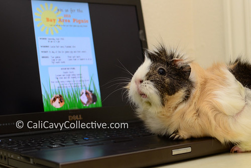 guinea pig link roundup Poof