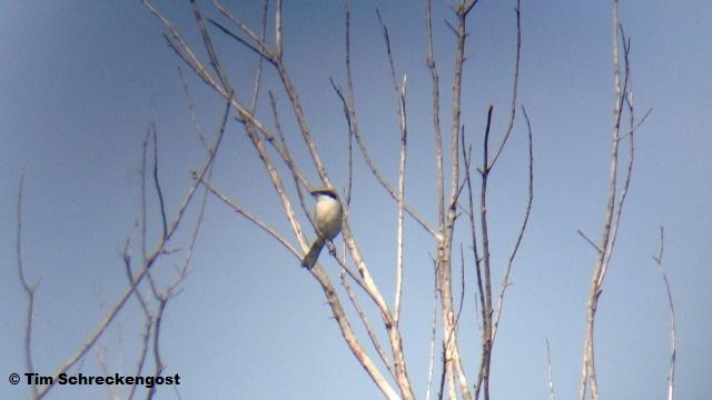 Loggerhead Shrike - Delaware