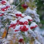 Siberian cranberry-bush - Калина (Viburnum)