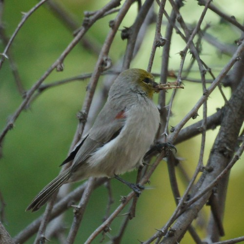 Verdin by Mike's Birds