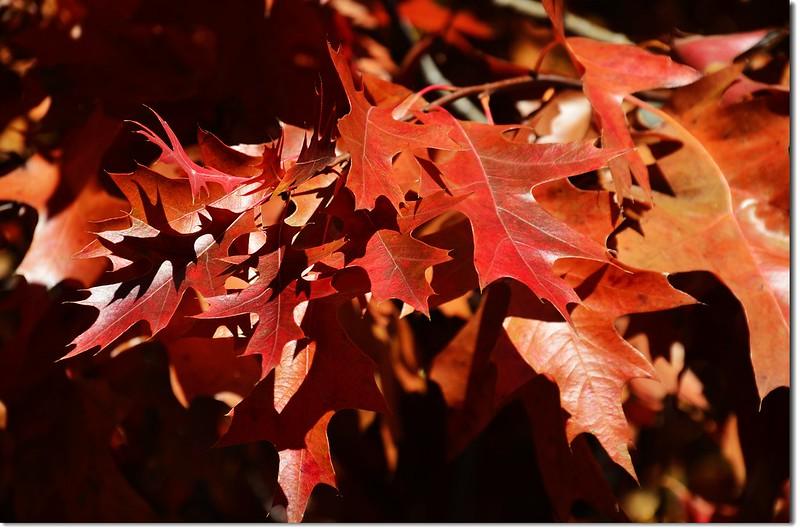 Oak(橡、櫟) in Fall, Chautauqua, Boulder 8