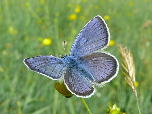 male mazarine blue