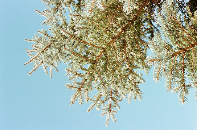 c is for conifer