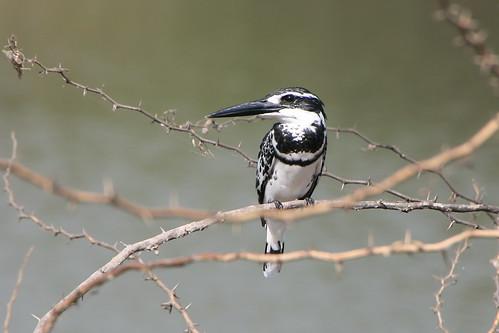 PiedKingfisher