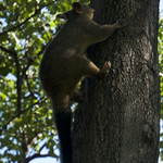 A possum in Hyde Park
