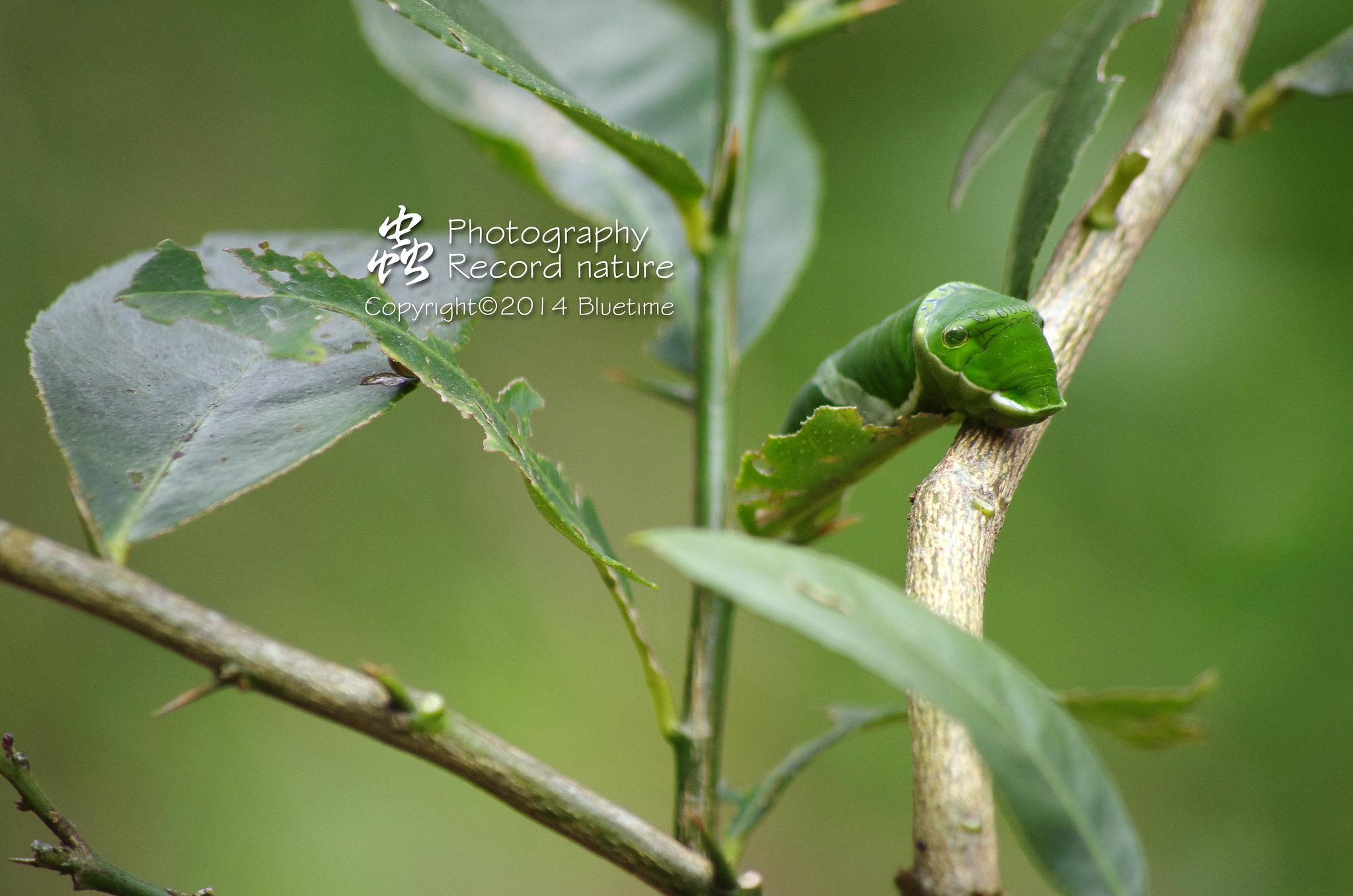 鳳蝶幼蟲-兩張流