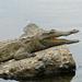 Small photo of Nile Crocodile (Crocodylus niloticus) juvenile