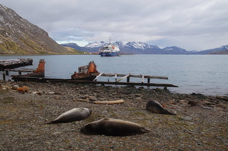 466 Zeeolifanten bij Grytviken
