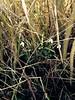Snowdrops (Galanthus nivalis) in hedge bottom, Staples Lane, Clandon Downs TQ05865137