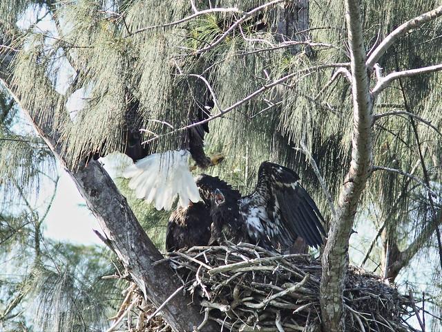 Bald Eagle second parent arrives with fish  20140409