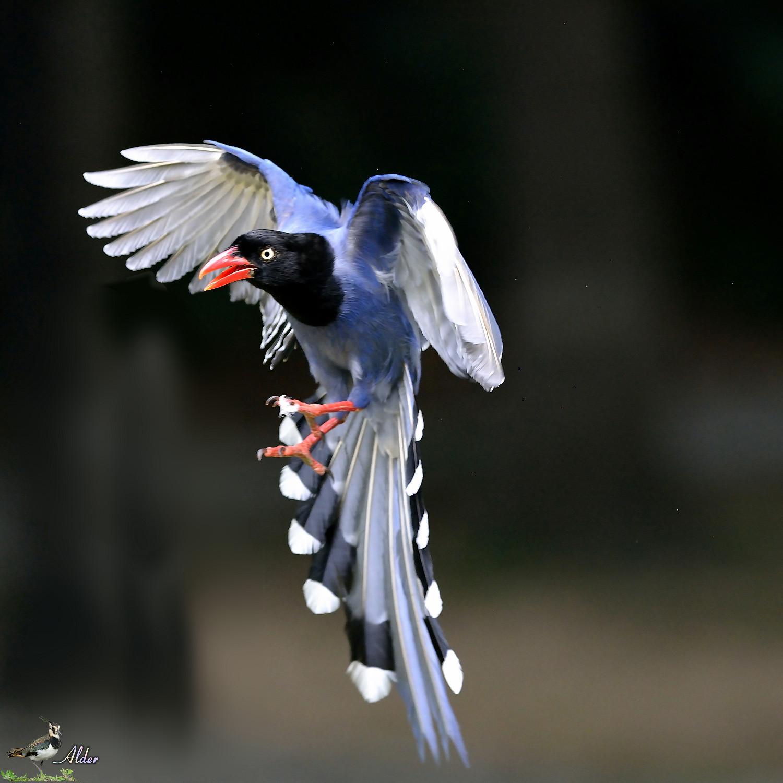 Formosan_Blue_Magpie_7855