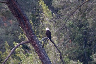 Del Valle Bald Eagle