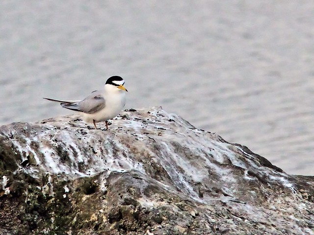 Least Tern female waits for bonded male 11- 20140428