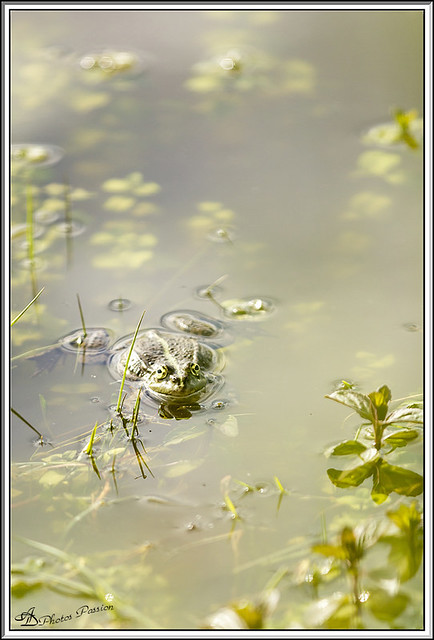 Grenouille 01