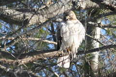 red tailed hawk IMG_1444