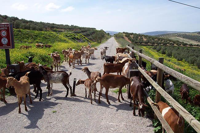 Cabras en el camino. © Paco Bellido, 2006