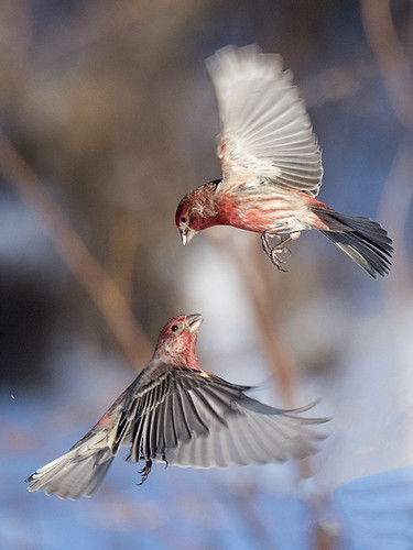 PA: House Finches in the Air