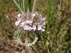 Marrubium supinum
