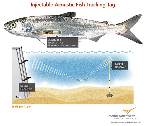 Tracking fish easier, quicker, safer with new injectable device