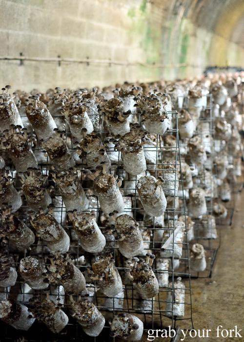 Shiitake mushrooms in the Li-Sun Exotic Mushrooms railway tunnel, Mittagong