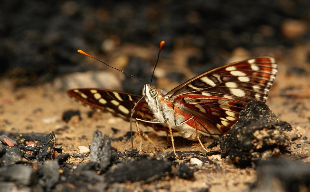 An Oberthur's Admiral (Chalinga elwesi, Nymphalidae) probes a picnickers campfire for minerals....