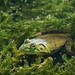 Green Frog by laszlofromhalifax