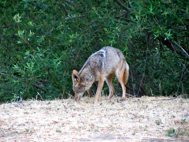 coyote on mulholland highway