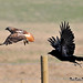 Raven Harassing a Red-tail DSC_7936 by Ron Kube Photography