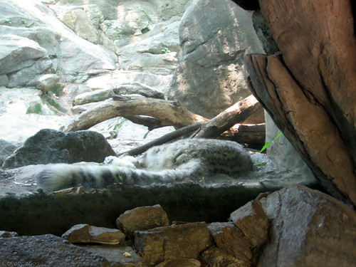 Sleeping snow leopard by Coyoty
