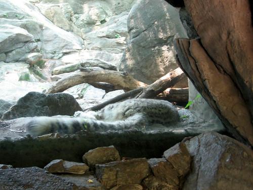 Sleeping snow leopard by Coyoty