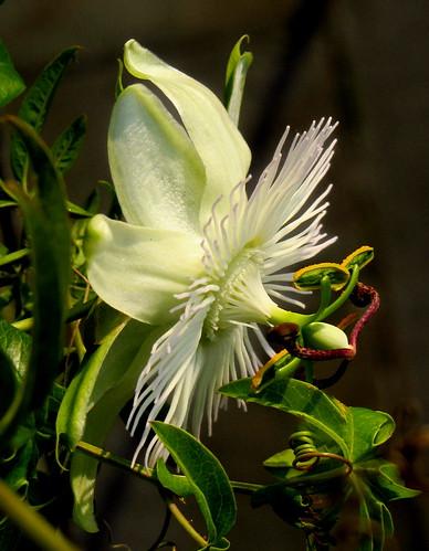"IMG_3865 - Passiflora caerulea ""Constance Elliot"" - serie di  foto -  Explore !!"