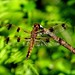 Female Twelve Spotted Skimmer Dragonfly by Krittergirl