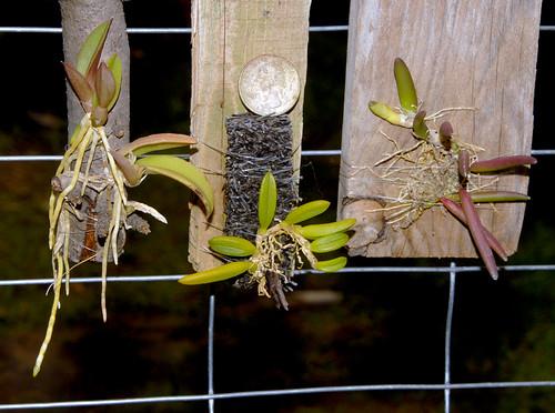 Succulent Miniature Orchids