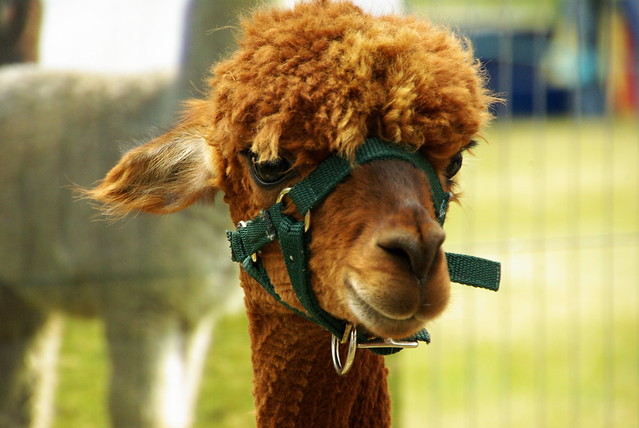 Brown Alpaca head
