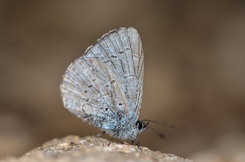 <p><i>Celastrina echo echo</i>, Lycaenidae<br /> Grouse Mountain, North Vancouver, British Columbia, Canada<br /> Nikon D5100, 105 mm f/2.8<br /> July 1, 2013</p>