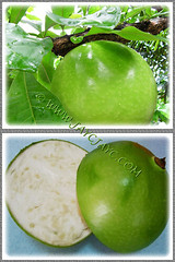 Collage showing the whole fruit and cross-section of Crescentia cujete (Calabash Tree)