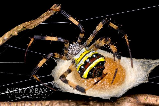 St Andrew's Cross Spider (Argiope sp.) - DSC_4390