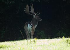 DSCF2378 Fallow buck