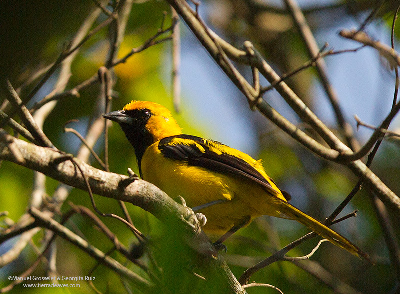 yellow-tailed-Oriole0595