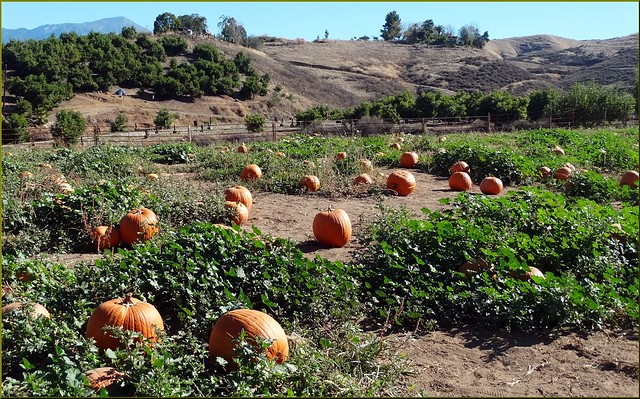 Green Spot Farm, Pumpkin Patch 10-26-13b