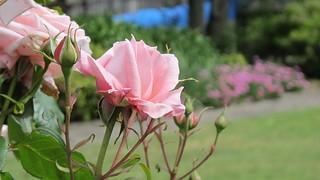 Moira Forde rose