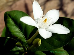 Tabernaemontana- Milk wood- நந்தியாவட்டை Or is it wrightia antidysenterica